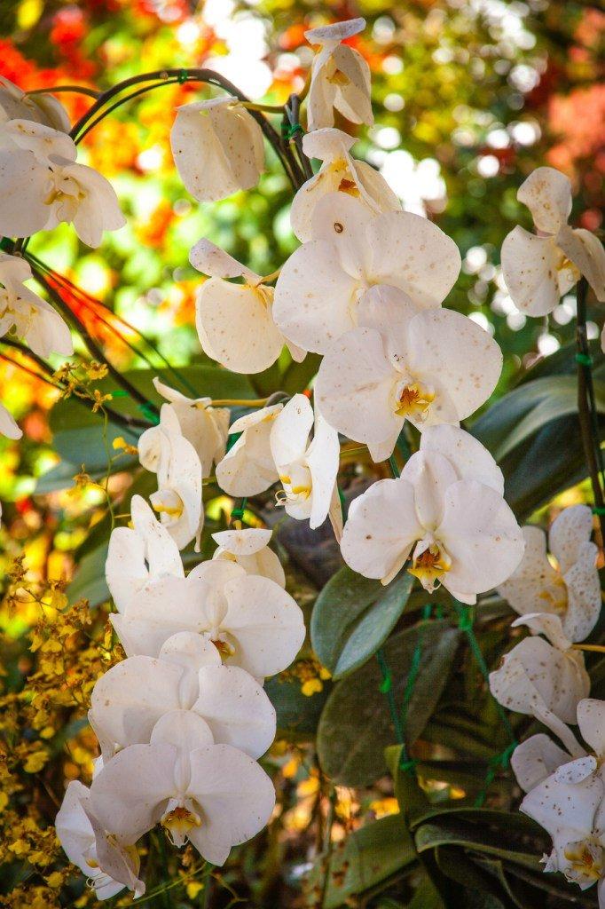 плантации цветущей тайской сакуры