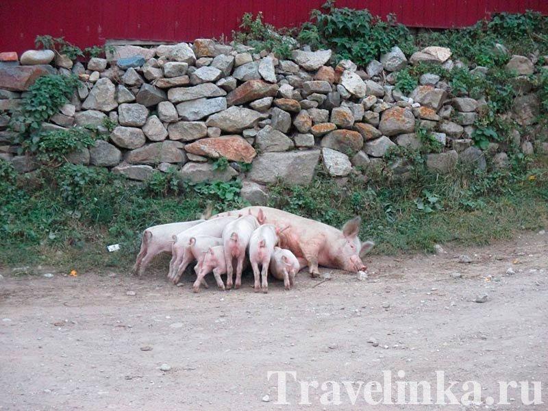 Свинка с детьми