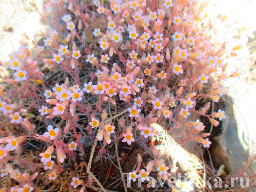 Цветы Сьерра де Гадор