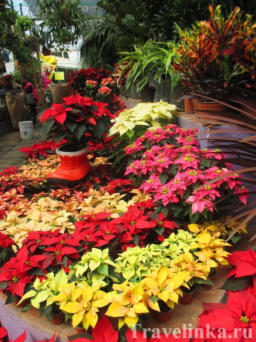 Цветы Койоакан Мехико