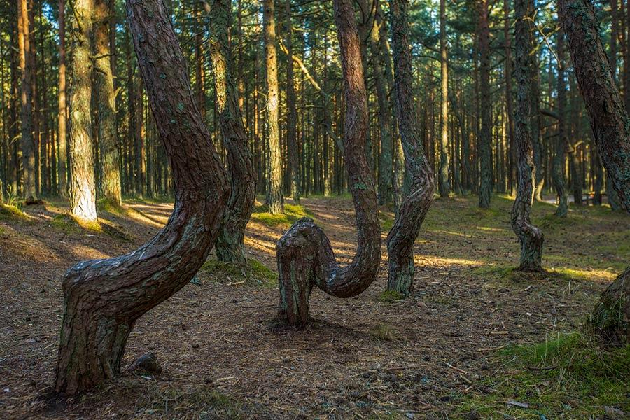 """Экологическая тропа """"Танцующий лес"""""""